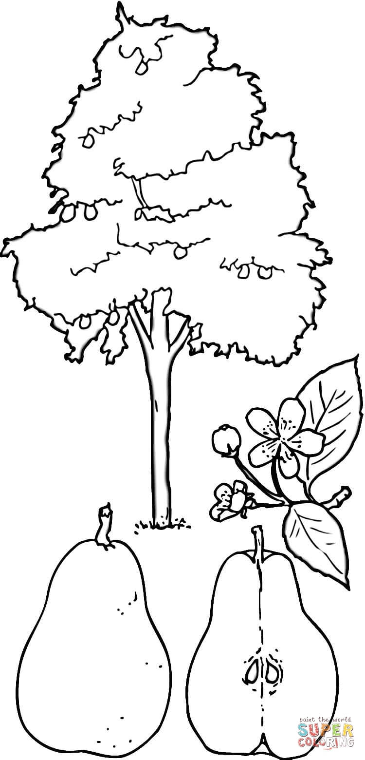 pears coloring pages - photo#45