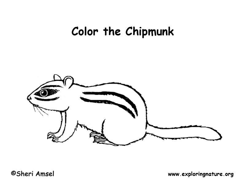 cute chipmunk coloring pages - photo#18