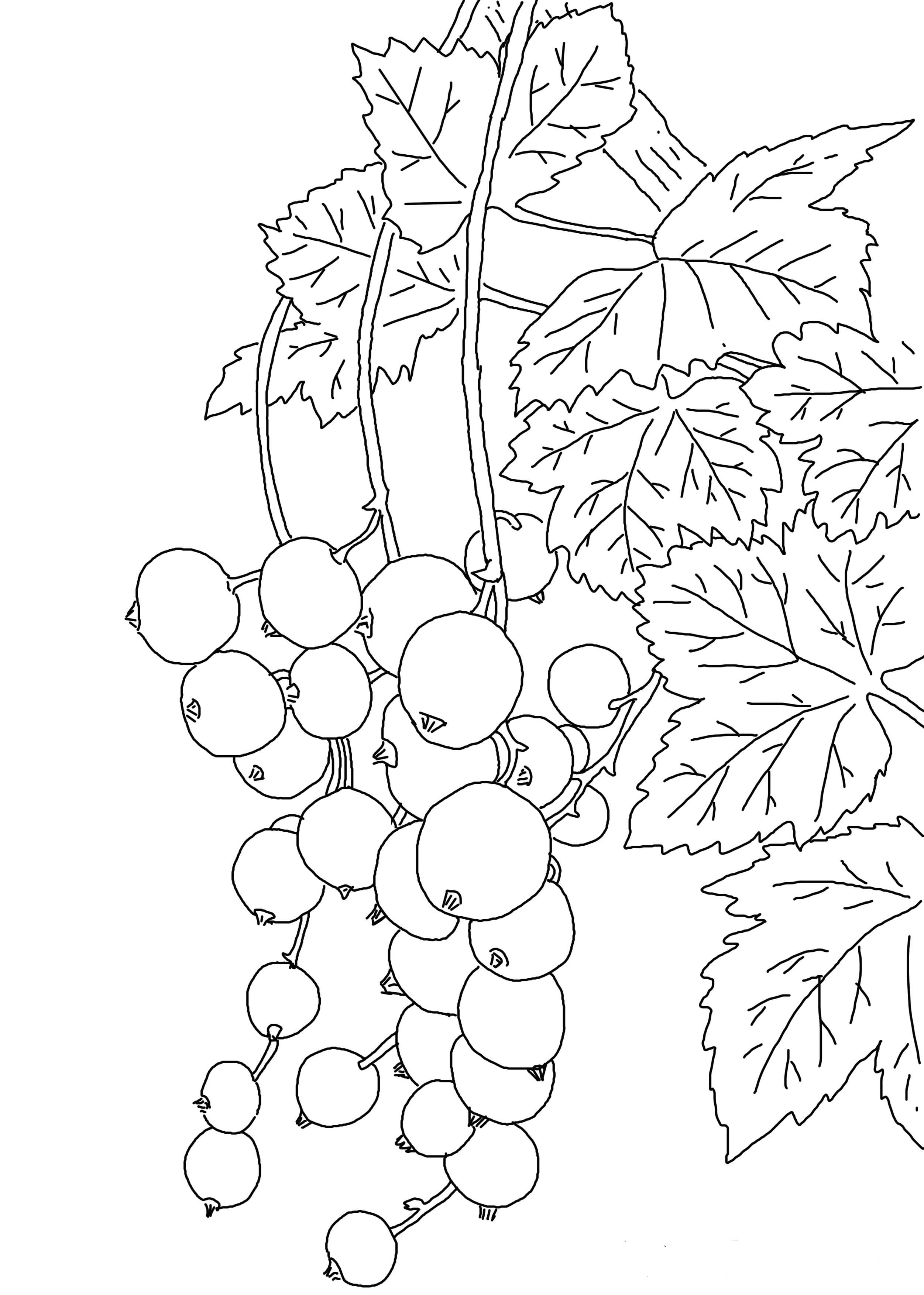 Currant Coloring Pages To Download And Print For Free