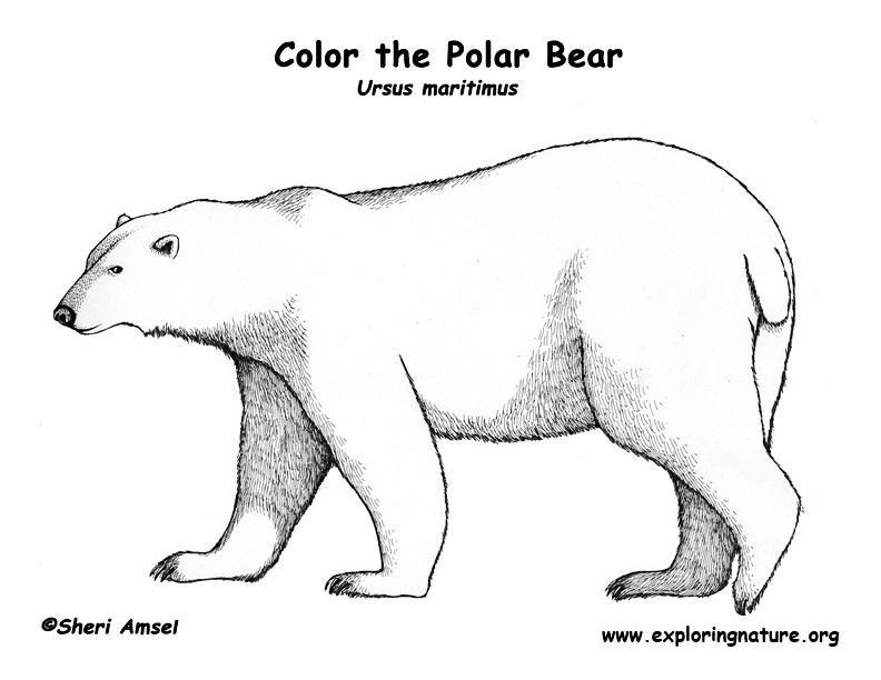 Polar bear coloring pages to download and print for free for Polar bear coloring pages