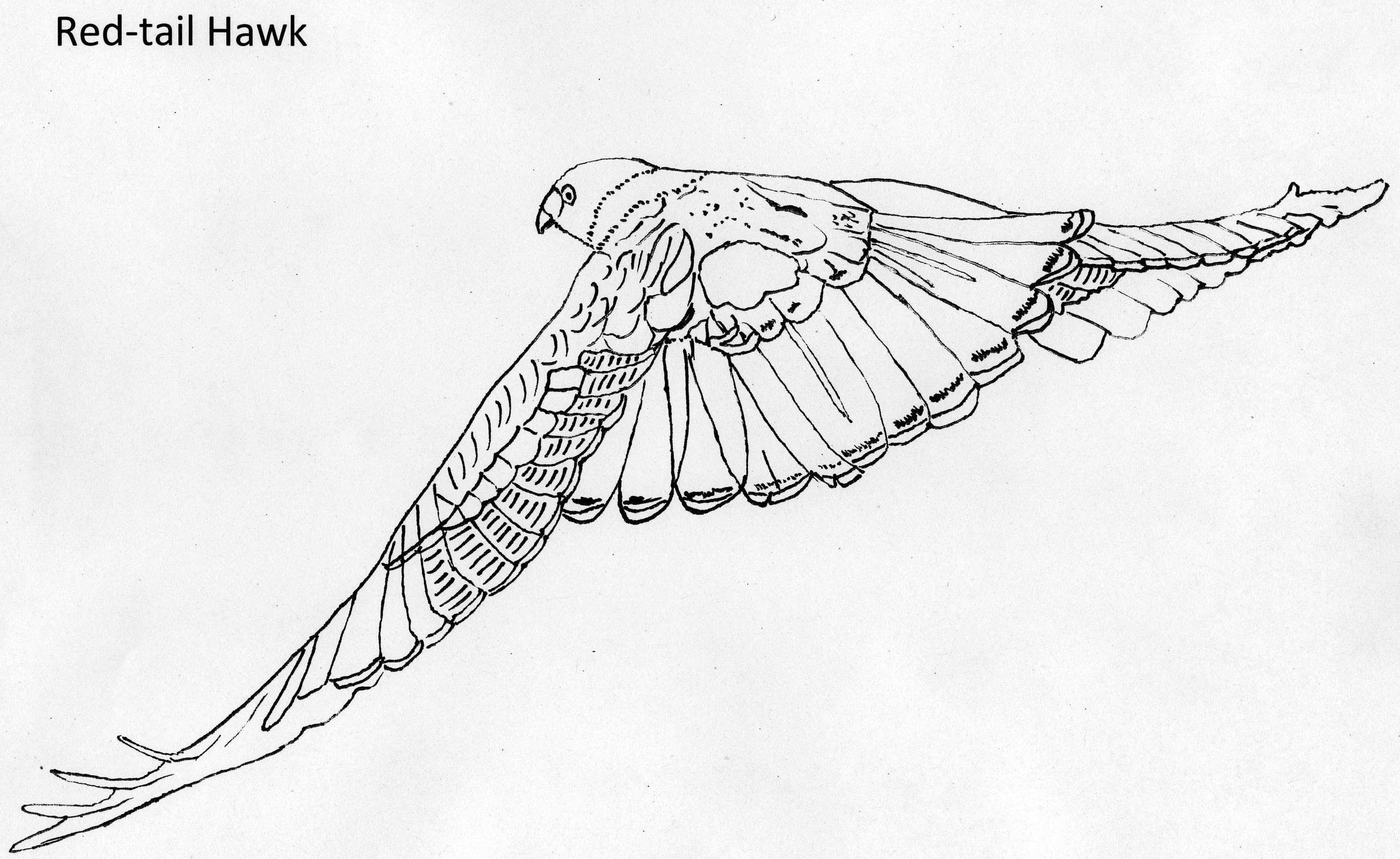 Hawk Coloring Pages To Download And Print For Free