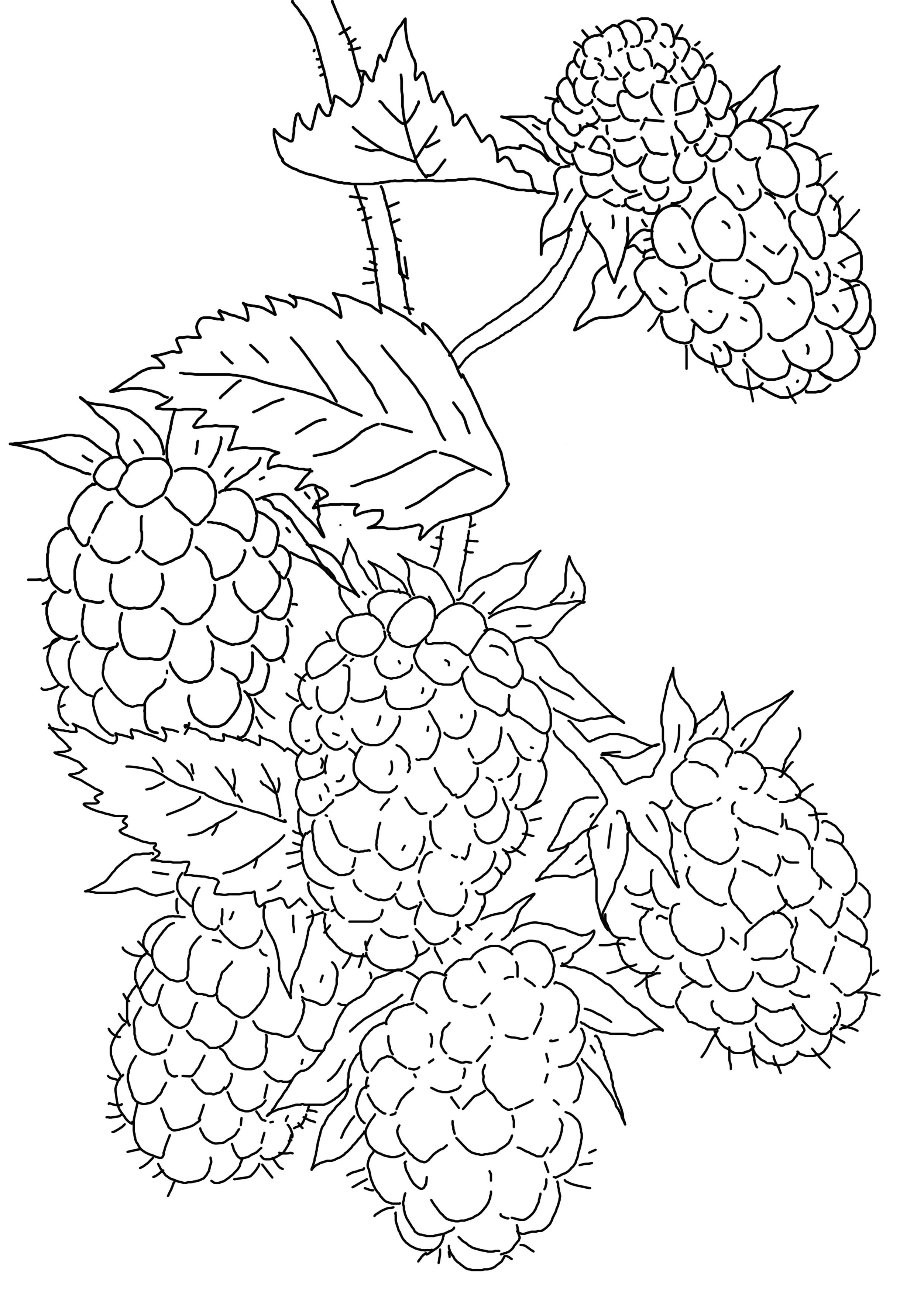 coloring pages blackberries - photo#9