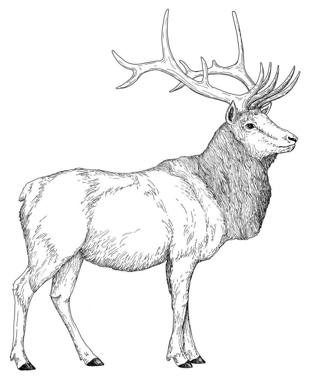 Adult Cute Elk Coloring Page Gallery Images best bull elk coloring pages download and print for free images