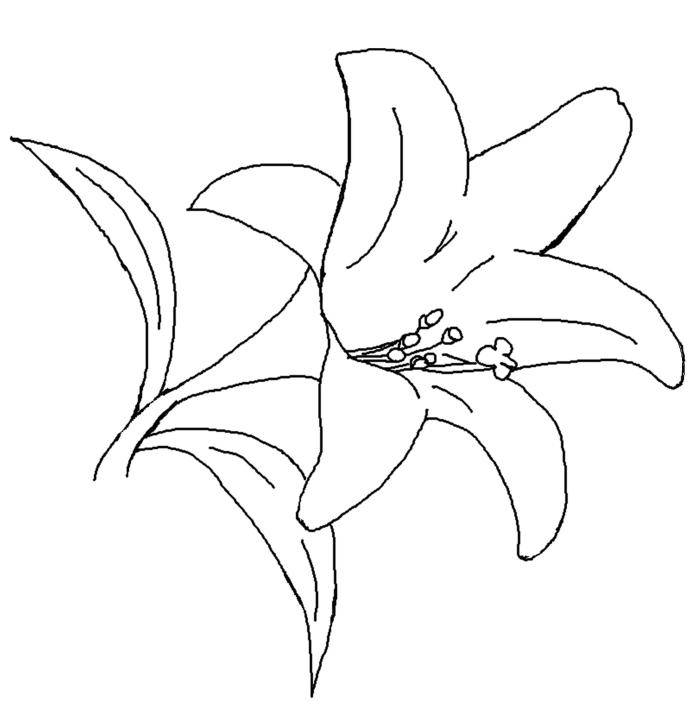 Gallery For gt Lily Outline Coloring Page