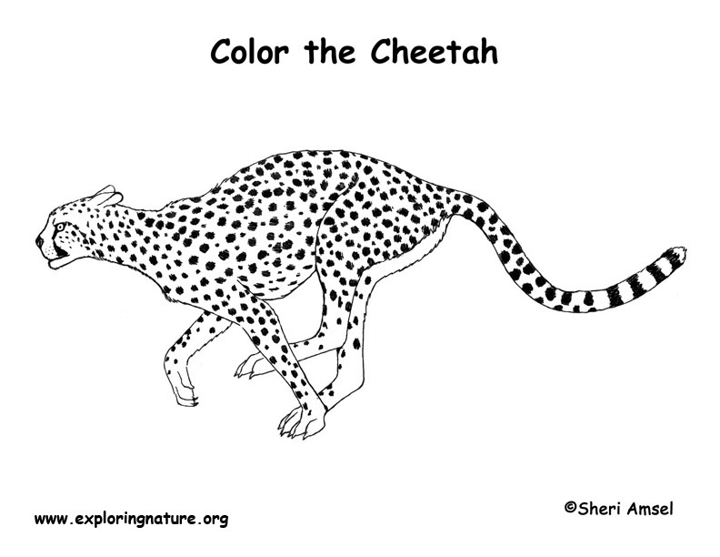 Cheetah coloring pages to download