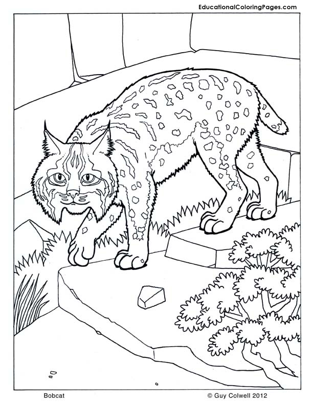 Bobcat coloring pages to download