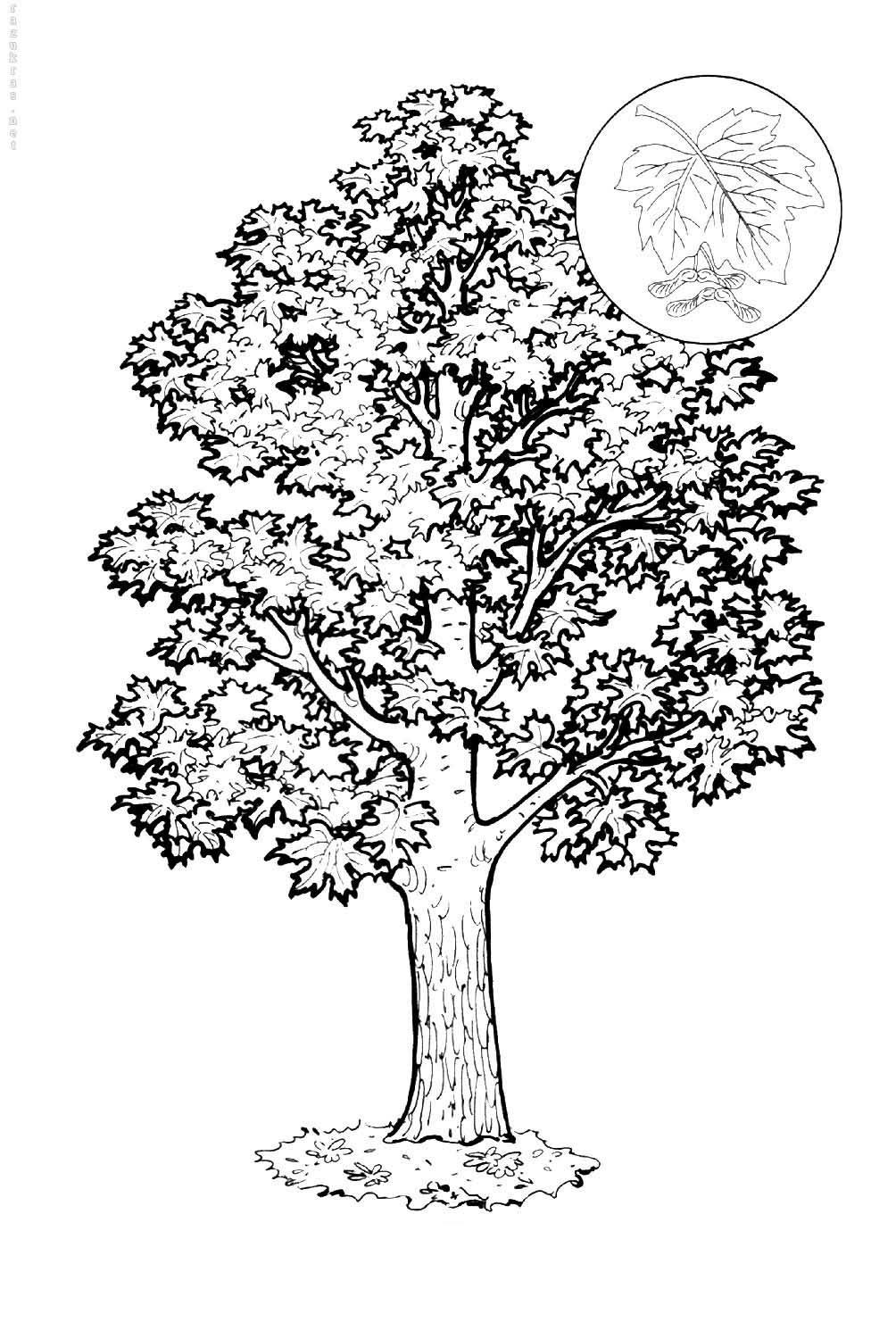 Maple Coloring Pages To Download And Print For Free