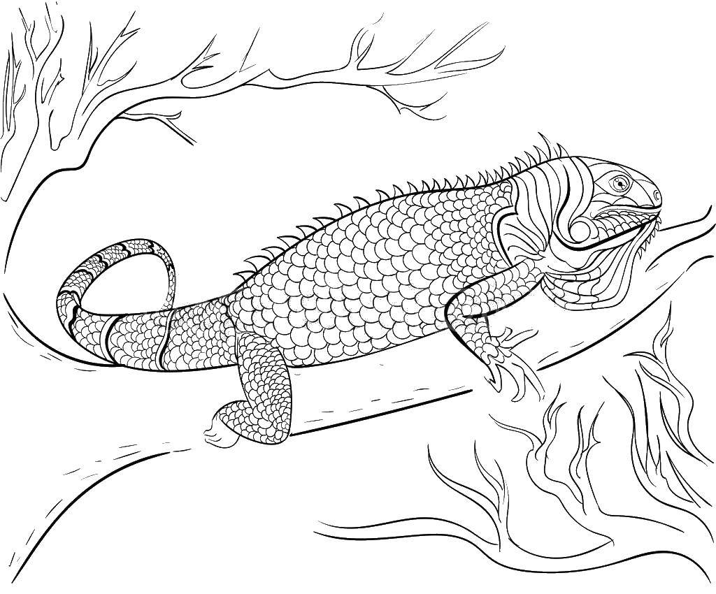 Coloring: Iguana Coloring Pages To Download And Print For Free