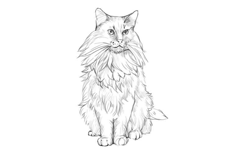 Maine coon Coloring Pages to download and print for free