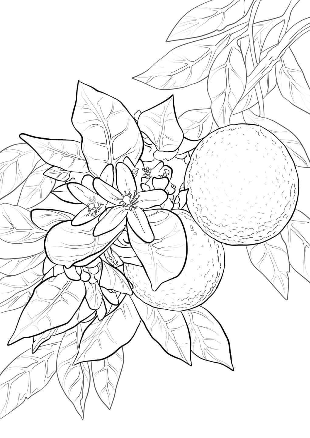 Orange coloring pages to download and print for free