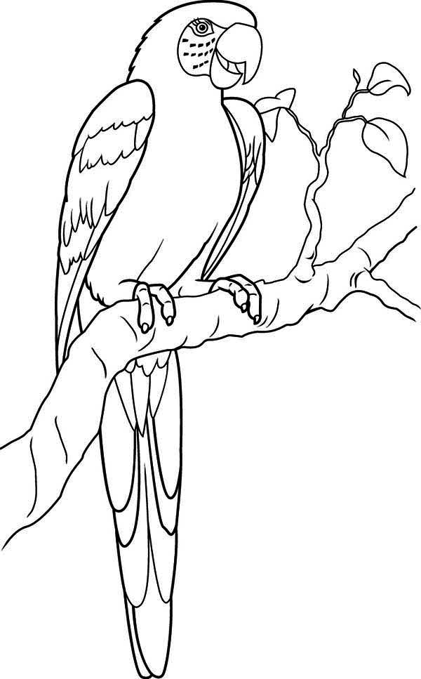 Parrots coloring pages to download and print for free