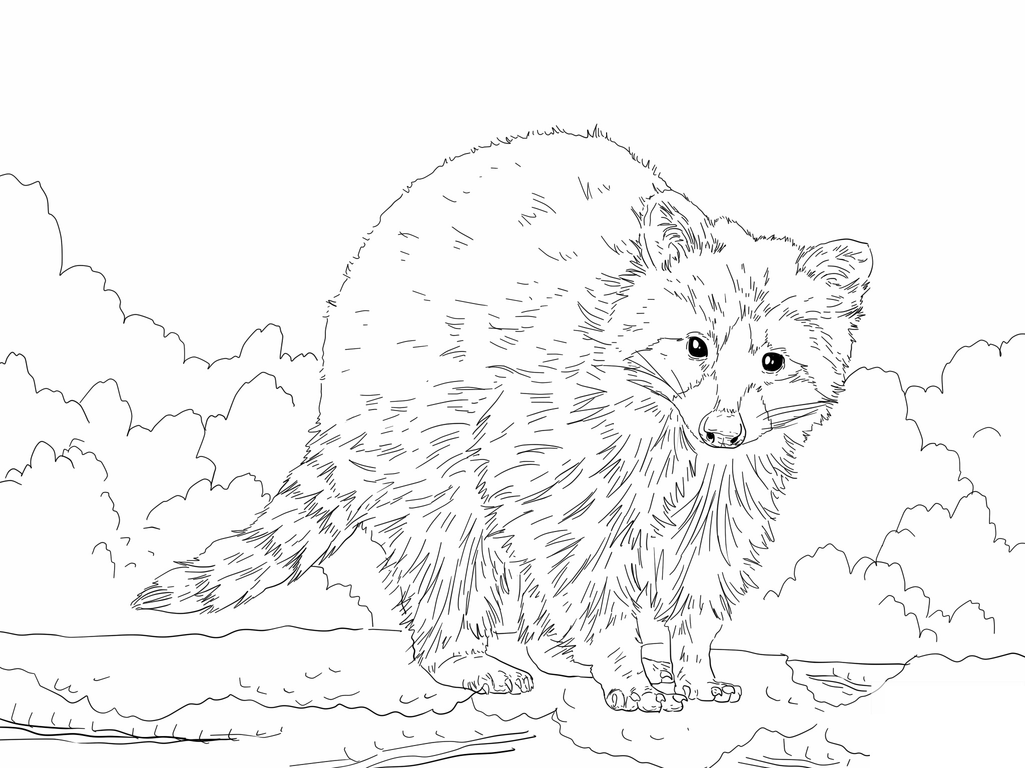 Raccoon Coloring Pages to download