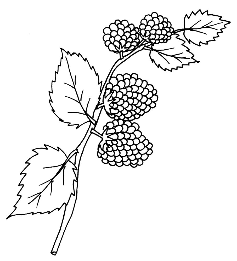coloring pages blackberries - photo#18