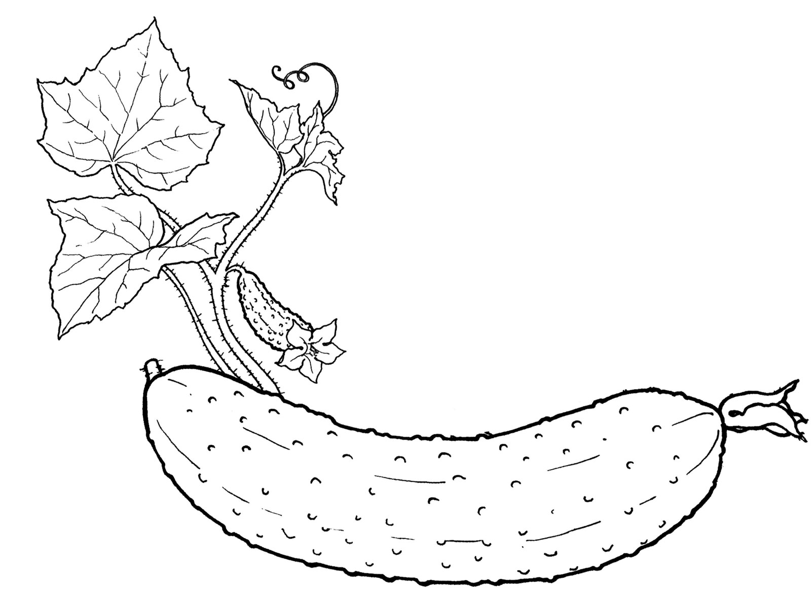 Cucumber coloring pages to download