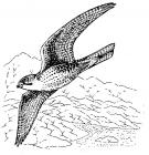 Peregrine coloring pages