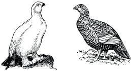 Partridge coloring pages