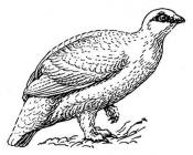 Partridge coloring pages
