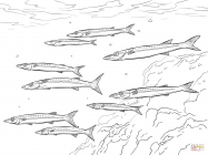 Barracuda coloring pages