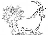 Springbok coloring pages