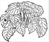 Begonia coloring pages