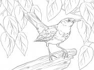Thrush coloring pages