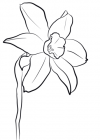 Narcissus coloring pages