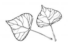 Poplar coloring pages