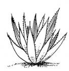 Agave coloring pages