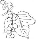 Currant coloring pages