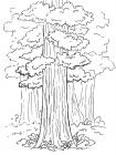 Sequoia coloring pages