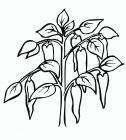 Pepper coloring pages