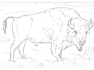 Bison coloring pages