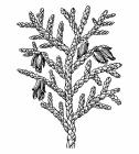 Thuja coloring pages