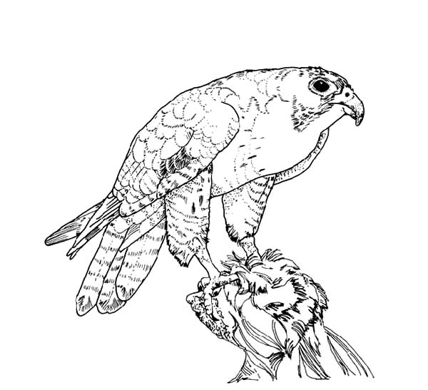 Peregrine Coloring Pages To Download And Print For Free